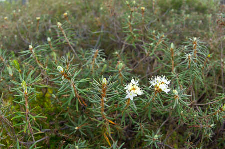 palustre: Rhododendron tomentosum - commonly known as Marsh Labrador tea, northern Labrador tea or wild rosemary