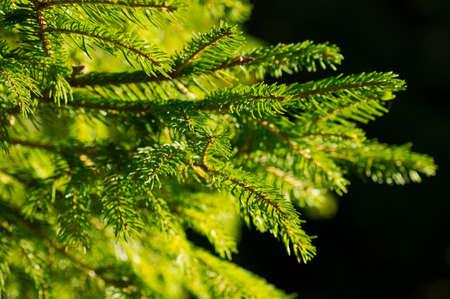 bough: Green spruce bough on a dark background