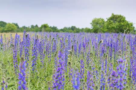 echium: Vipers Bugloss,  Blueweed Echium vulgare blue natural field