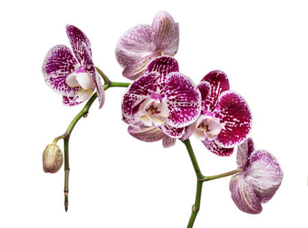Purple mottled and spotted orchid stem. Lilac flower branch. Phalaenopsis blooming blossom focus stack on isolated white background