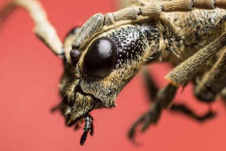 long horn beetle: Beetle portrait. Bug macro. Rhagium inquisitor. Cerambycidae. Estonia. Europe. Red background