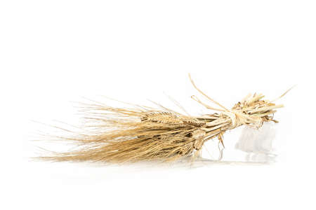 Barley bunch isolated on white background. Grain bouquet, golden spikelets.