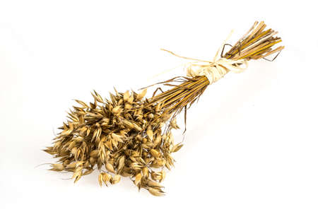 booty: Oat bunch isolated on white background. Grain bouquet. Golden oats spikelets.