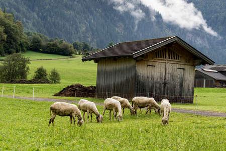 Alpine sheep, bell around the neck on Tyrol Mountain. Animal on Austria Alps