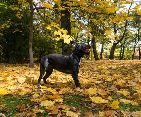 Portrait of a Cane Corso dog breed on a nature background. Dog playing on the grass with colored leaves in autumn. Italian mastiff puppy.