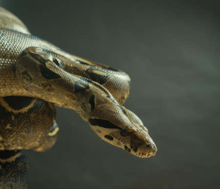 Colombian Boa. Tropical brown constrictor. Snake skin with yellow and black spots on a gray background Stock Photo