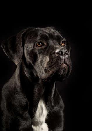 Portret van een hondenras van Cane Corso op een zwarte achtergrond. Italiaanse mastiff puppy.
