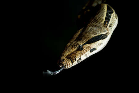 Colombian Boa. Tropical brown constrictor. Snake skin with yellow and black spots on a black background