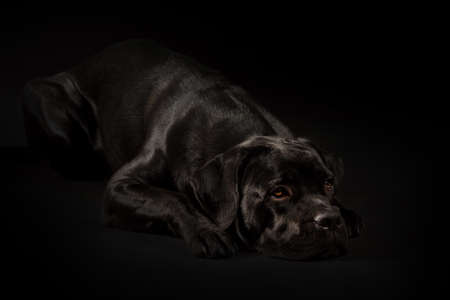 Portrait of a Cane Corso dog breed on a black background. Italian mastiff puppy. Фото со стока