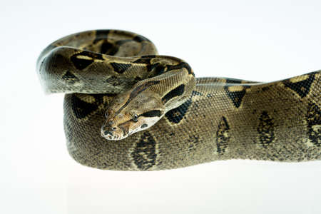 Colombian Boa. Tropical brown constrictor.  Snake skin with yellow and black spots on a white background