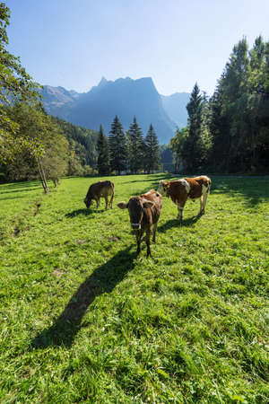 Cows. Landscape protection area Achstürze. Cattle and alps in the background. Tirol oldest nature preserves. Oetz alps, Lake Piburger See, unique cultural mountains landscape. Ötztal valley.