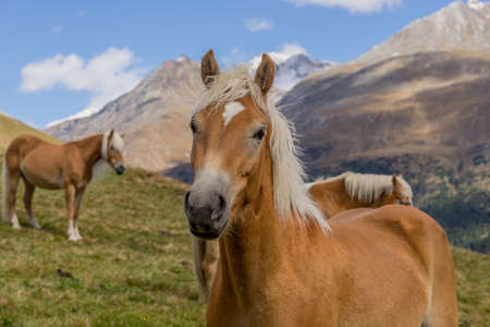 Alpine horse on Tirol Mountains. Brown gee on mountain background, natural environment. Animal on Austria Alps, Vent, Europe.