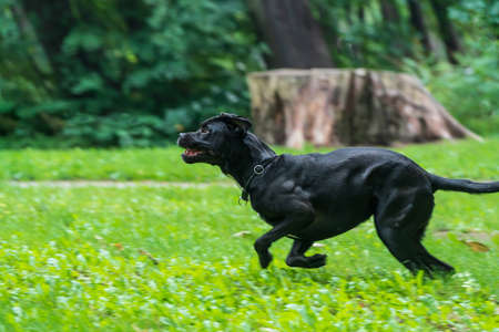 Portrait of a Cane Corso dog breed on a nature background. Dog running and playing ball on the grass in summer. Italian mastiff puppy.