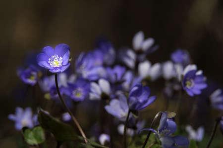 Pennywort blossom. Blooming liverwort flower and blue petals. Kidneywort in natural environment. Hepatica nobilis bloom, green leaf, bokeh in sunset light. Anemone hepatica, Estonia, Europe