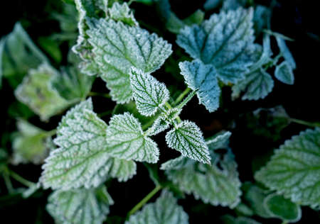 Urtica. Frosty green nettle leaves in autumn, natural environment  background Zdjęcie Seryjne