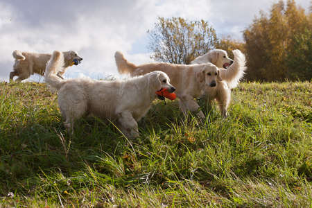 Labrador Retriever running in a grass field. Dog walking and playing in park. Happy pet in the wild Banco de Imagens
