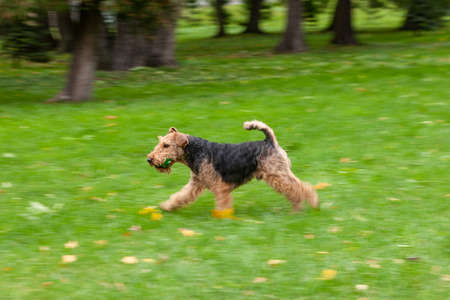Fox terrier running in a grass field. Dog walking and playing in park. Happy pet in the wild