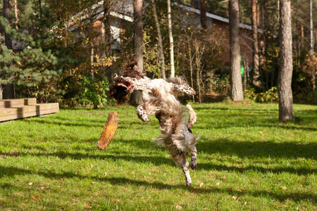 Irish Red and White Setter running in a grass field. Dog walking and playing in park. Happy pet in the wild