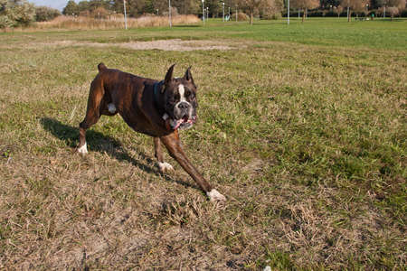 Boxer running in a grass field. Dog walking and playing in park. Happy pet in the wild Banco de Imagens