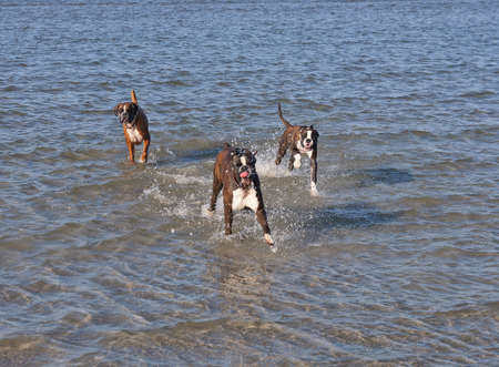 Boxer running in water. Dog walking and playing in the sea. Happy pet in the wild