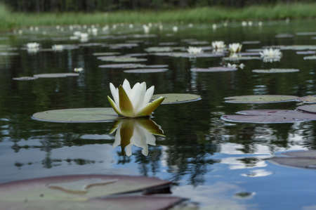 Nymphaea alba bloom. Water lily blossom among green leaves and blue water. White lotus with yellow pollen in bog. Blooming flower in natural swamp environment.