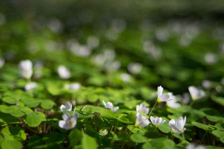 Common wood sorrel blossom and leaves are edible - Oxalis acetosella