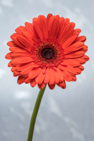 Gerbera blossom. Blooming red flower and green petals. Bloom in natural environment. Asteraceae (daisy family) Stok Fotoğraf
