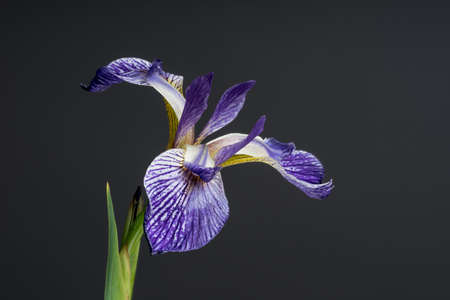 Salonique bloom. Beautiful spring flower open petal. White with purple edges iris blossom blooming. Stock Photo