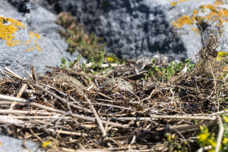 Larus. Gull eggs in a nest of reeds, natural environment background.