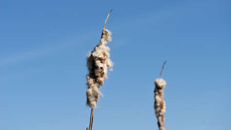 Typha. Dried cattails in natural environment. Reeds and frozen lake background.