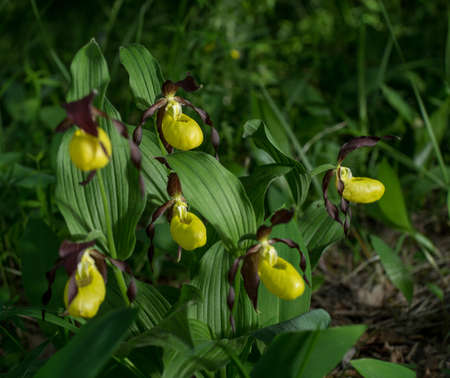 Ladys Slipper Orchid flower. Yellow with red petals blooming flower in natural environment. Lady Slipper blossom bloom. Cypripedium calceolus. Stock Photo