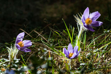 Pulsatilla patens bloom. Common blue Eastern pasqueflower plant. Prairie crocus blossom. Beautiful blooming cutleaf anemone. Pasque flower in a natural environment.
