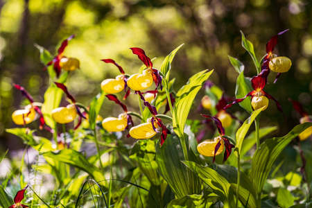Lady's Slipper Orchid flower. Yellow with red petals blooming flower in natural environment. Lady Slipper blossom bloom. Cypripedium calceolus. Standard-Bild