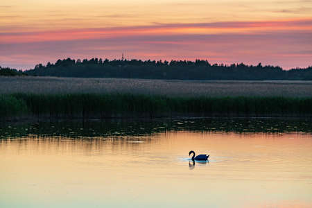 Evening sunlight on coast, pink and golden clouds, swan and sky reflection on water. Beach in summer. Seaside natural environment. Shore in Laelatu, small island in Estonia. Nature Reserve in North Europe