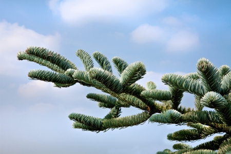 firry: Spruce branches against the sky. Christmas.