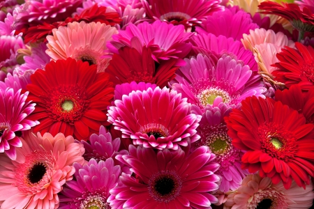Gerbera: Beautiful bouquet of purple, red and pink colors  A large group of flowers  Stock Photo