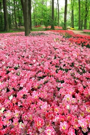 serene landscape: Field of tulips in the park  Spring landscape  Stock Photo