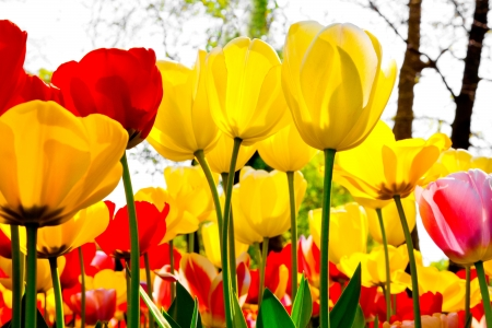 Tulips in a forest  Abstract background  Park