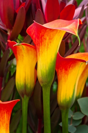 calla lily: Beautiful red and yellow day lilies. Abstract background. Stock Photo