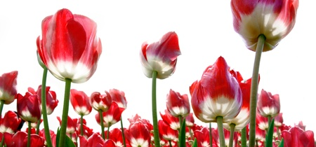 Red tulips on a white background. Panorama. Stock Photo