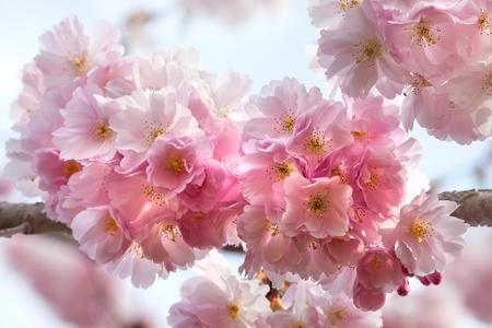 pastel colour: A branch of a cherry  Spring landscape  Close-up