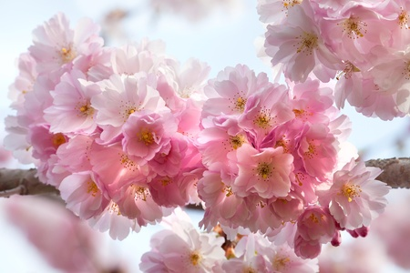 flores color pastel: Una rama de un paisaje de primavera de cerezo Primer plano