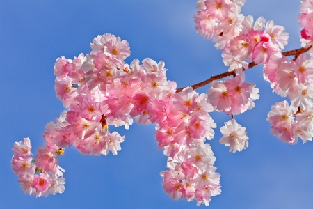 A branch of a cherry  Spring landscape  Close-up  photo