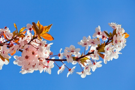 A branch of a cherry  Spring landscape  Close-up