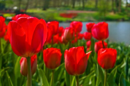 Group of red tulips  Spring landscape  Stock Photo - 18293697