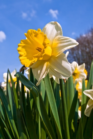 A group of white narcissus against the sky  Spring landscape Stock Photo - 18293703