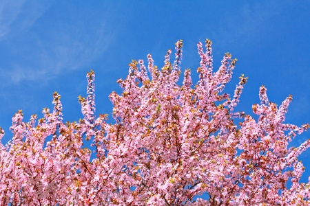 Cherry blossoms  Spring landscape  Spring day  photo