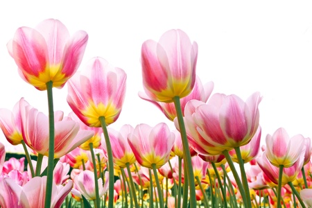 beautiful red tulips close up: Group of pink tulips on a white background  Panorama  Spring landscape Stock Photo