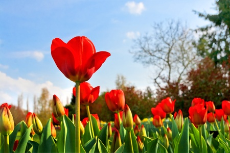 Group of red tulips on a background of forest Spring landscape