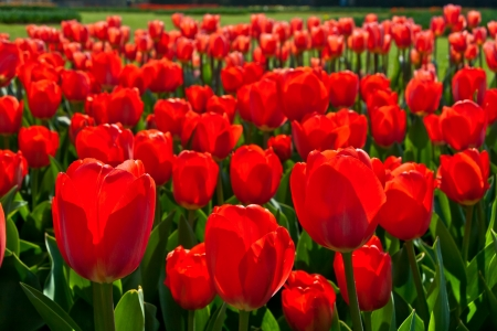 Group of red tulips in the park  Spring landscape Stock Photo - 18658482